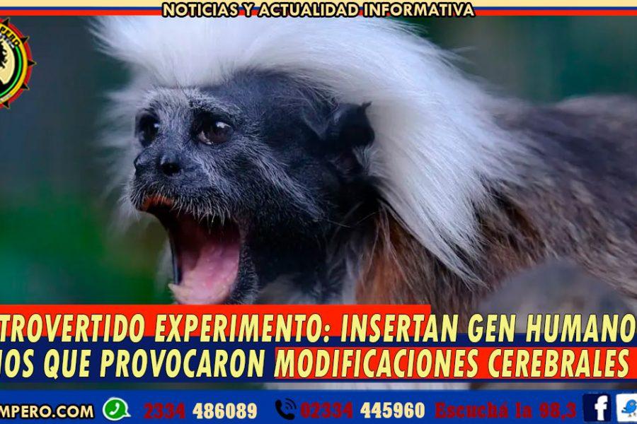 CONTROVERTIDO EXPERIMENTO: insertan Gen Humano en monos que provocaron modificaciones cerebrales